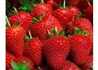 Stáleplodící jahody
