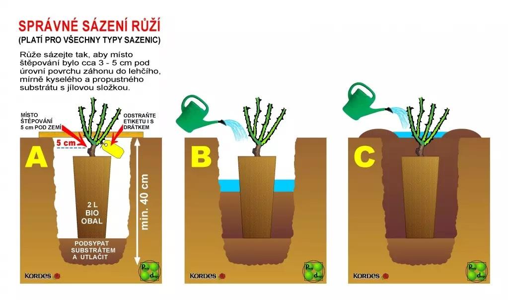 sázení růží v bio obalech