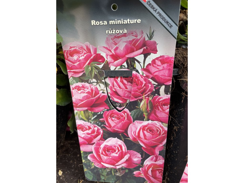 Miniaturní růže růžová