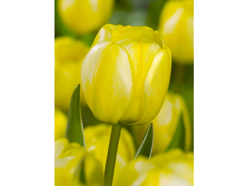 FA 11 0306 Tulipa Jaap Groot