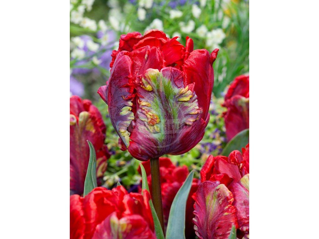 FA 19 0128 Tulipa Rococo