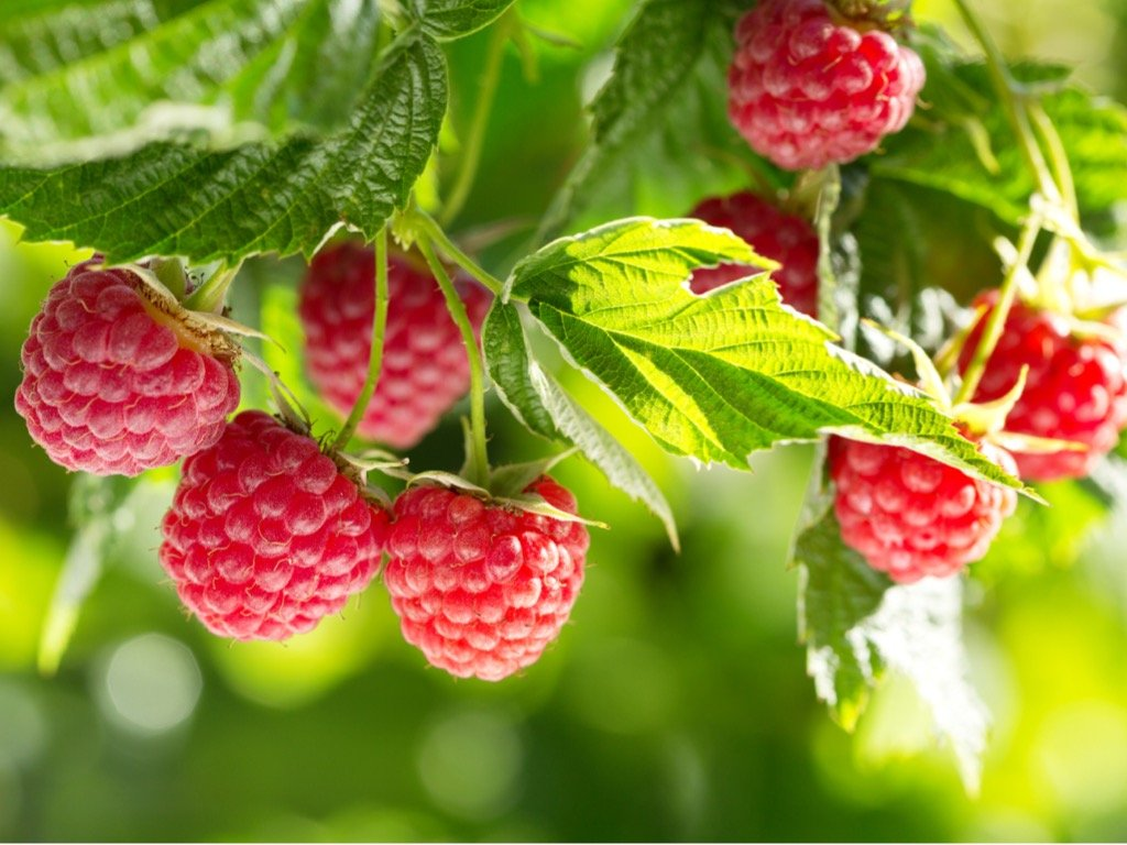 ripe raspberries in a garden picture id943755942