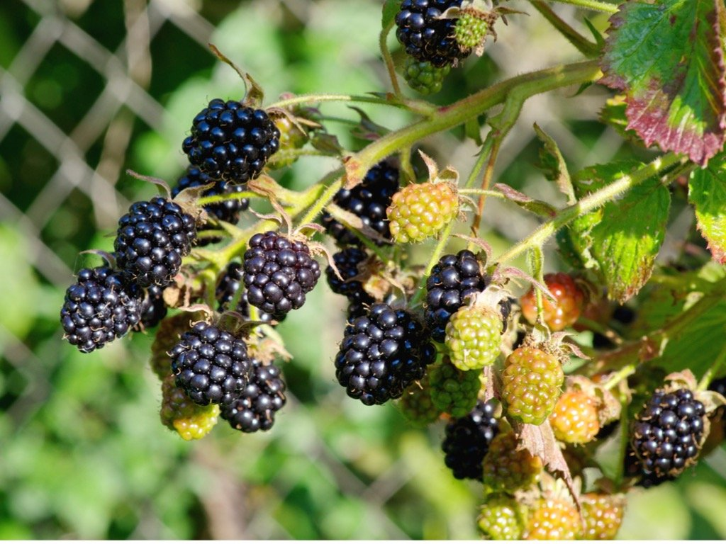 blackberry berries of different ripeness on a branch closeup picture id1305094764