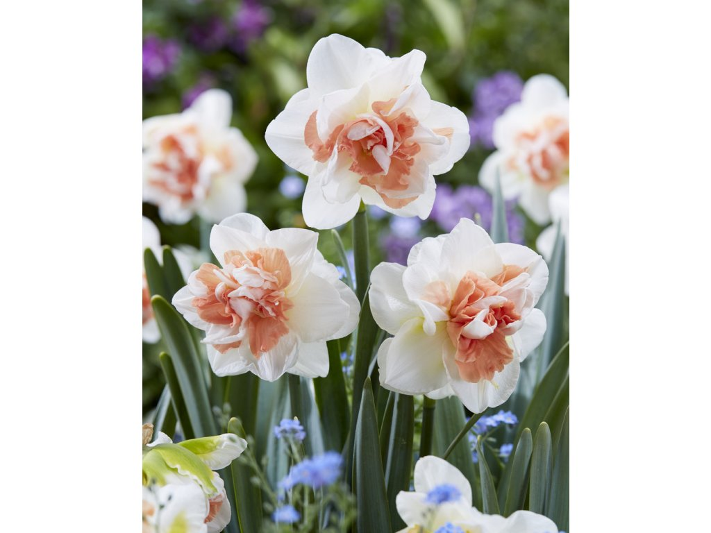 Narcis 'Monrosen' 5 ks