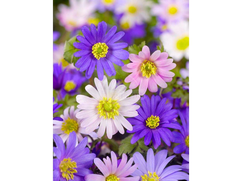 FA 10 0360 Anemone Blanda mixed