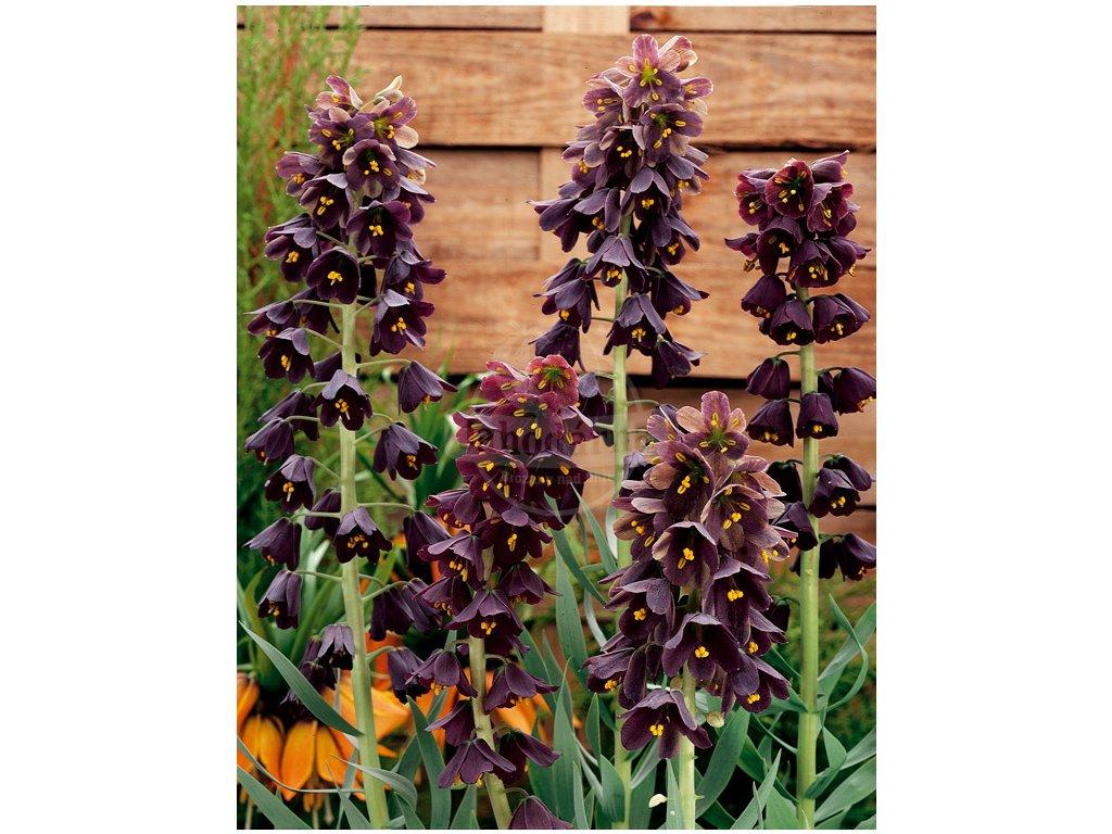 PL 07 0057 Fritillaria Persica