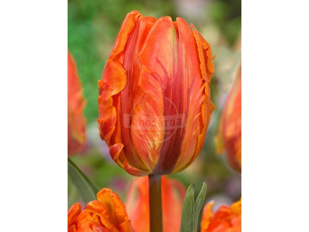 FA 12 0662 Tulipa Irene Parrot