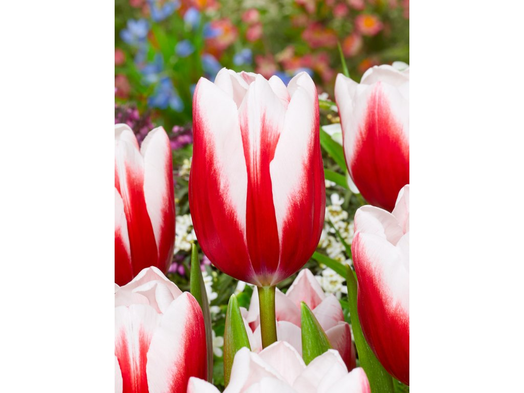 FA 18 0015 Tulipa Timeless