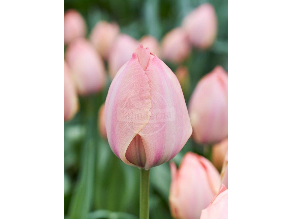 PJ 20 0109 Tulipa Salmon van Eijk