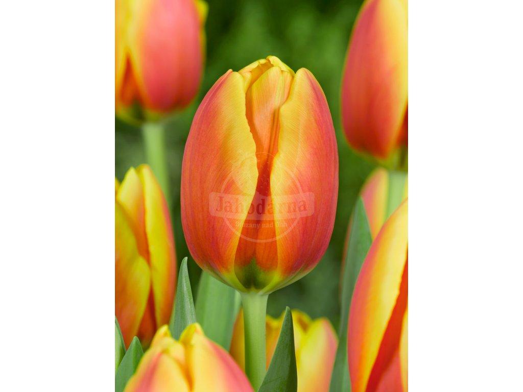 FA 09 0023 Tulipa World Peace