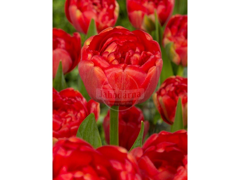 FA 12 0328 Tulipa Miranda
