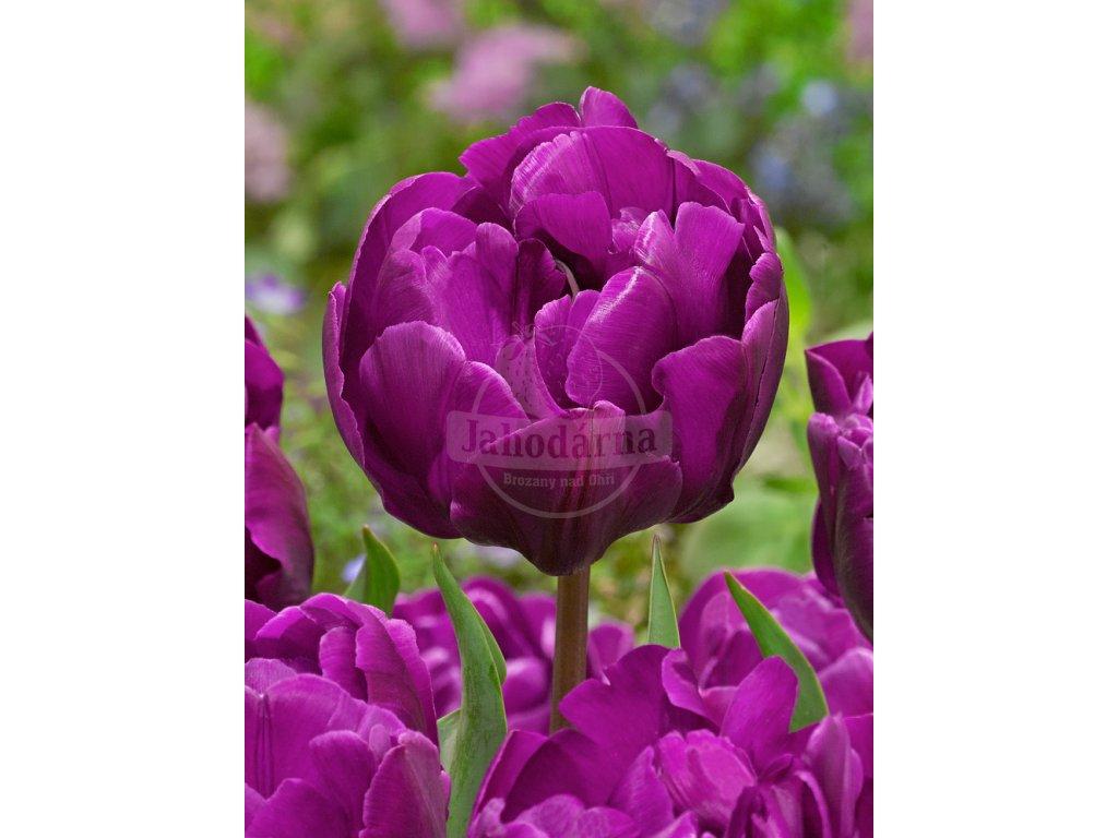 FA 14 0325 Tulipa Double Negrita