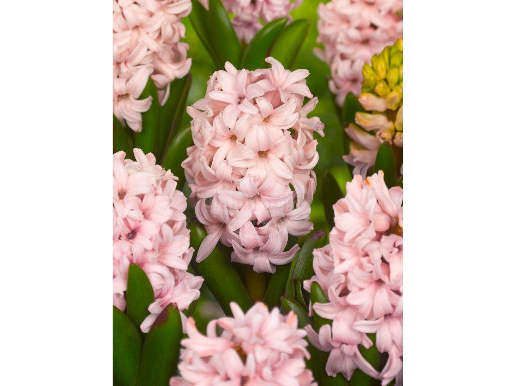 FA 10 0067 Hyacinthus Apricot Passion