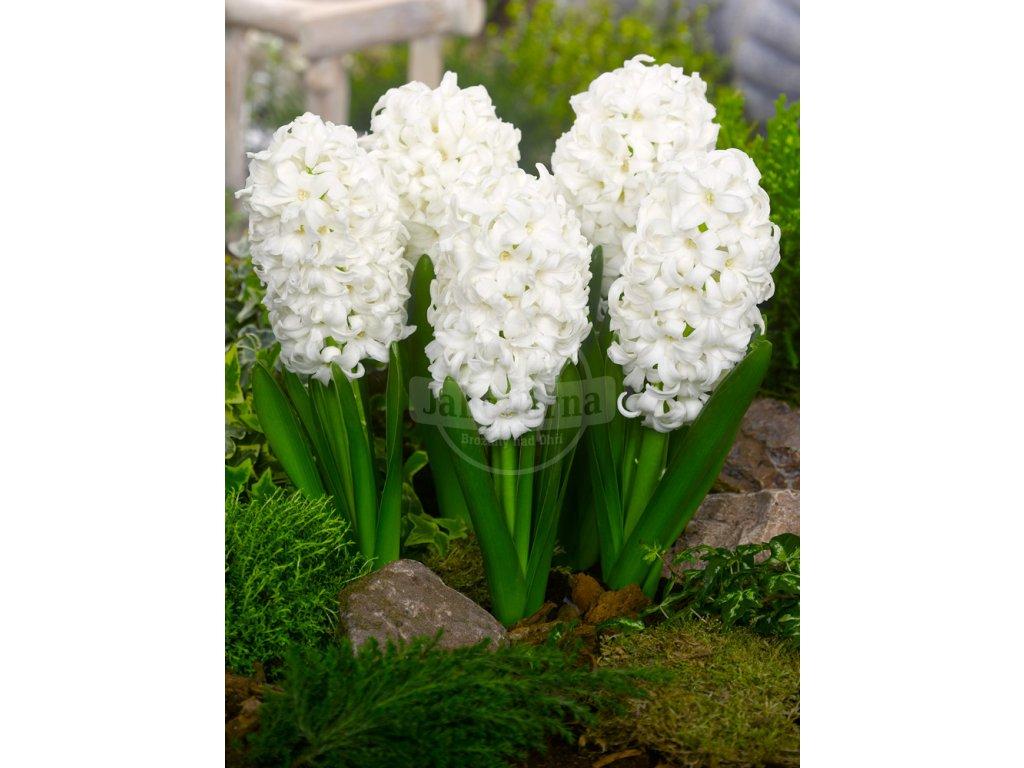 FA 11 0158 Hyacinthus orientalis Top White