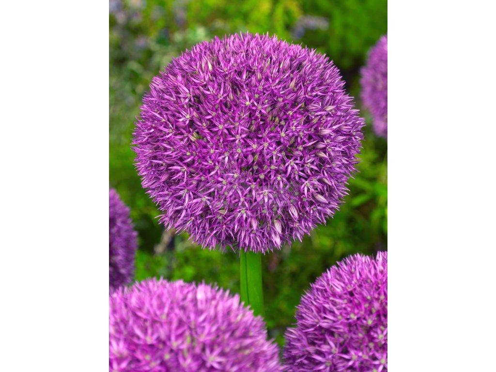 FA 10 0055 Allium Pinball Wizard