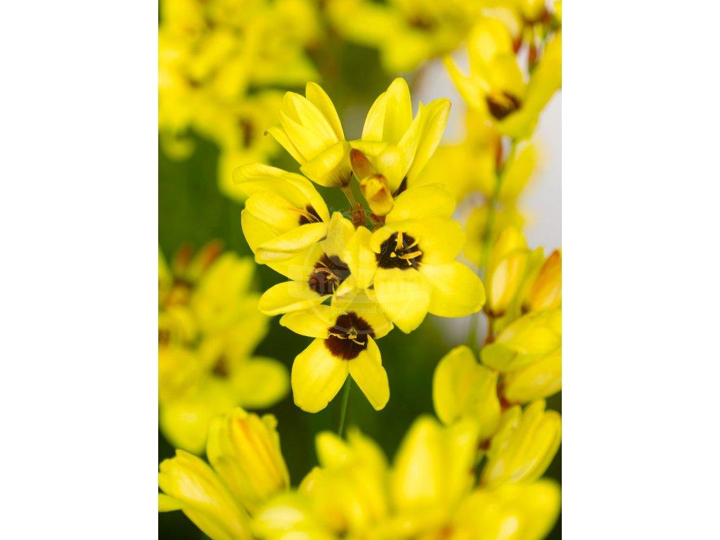 FA 11 0547 Ixia Yellow Emperor
