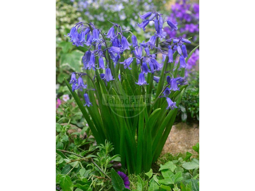 FA 16 0470 Hyacinthoides hispanica