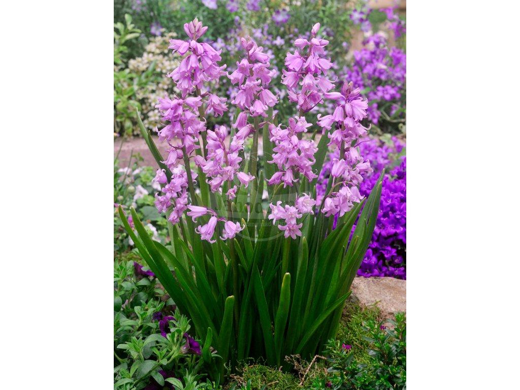 FA 16 0467 Hyacinthoides hispanica