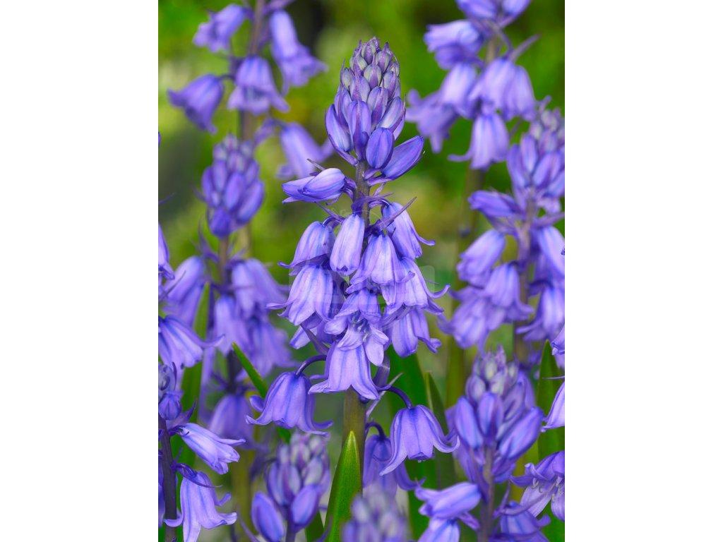 FA 10 0460 Hyacinthoides hispanica