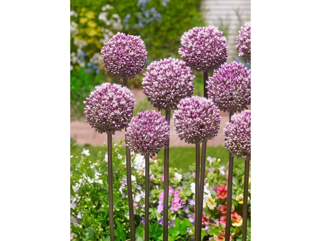 FA 17 0407 Allium Summer Drummer