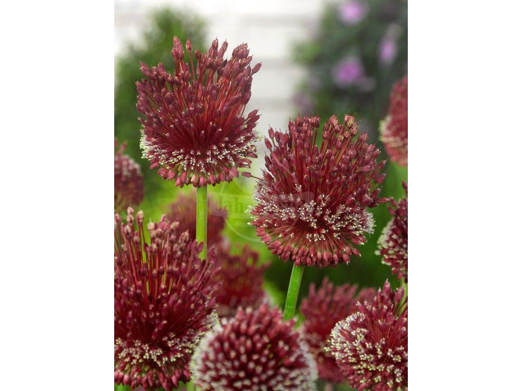 FA 12 0806 Allium Red Mohican