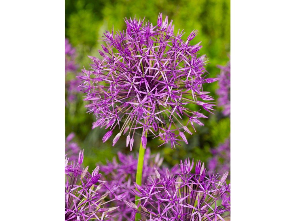FA 09 0123 Allium Purple Rain