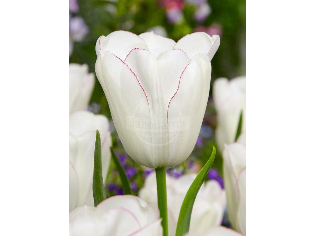 FA 13 0449 Tulipa Diamond Jubilee