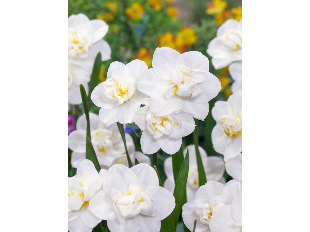FA 20 0465 Narcissus Cheerfulness