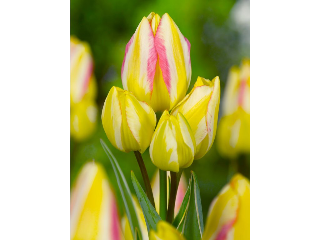 Tulipán 'Antoinette' 5 ks
