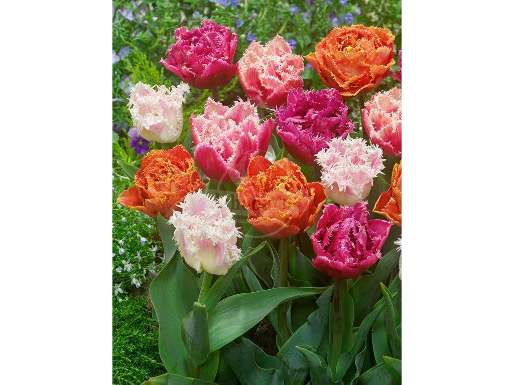 Mix plnokvětých třepenitých tulipánů 50 ks