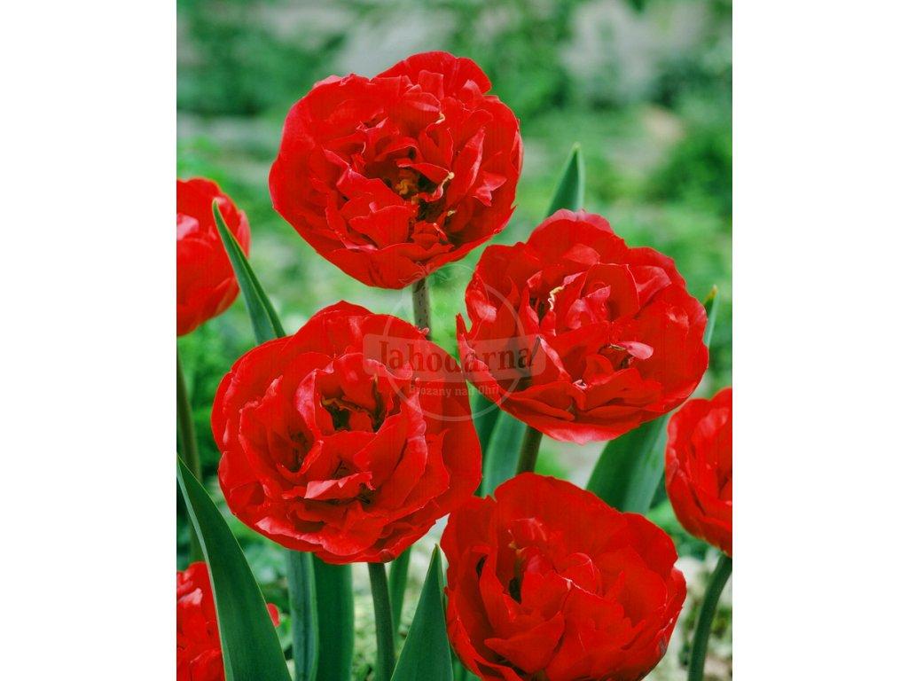 JG 05 0340 Tulipa Bombastic Red dubbel