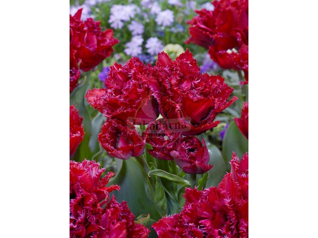 FA 20 0054 Tulipa Cranberry Thistle