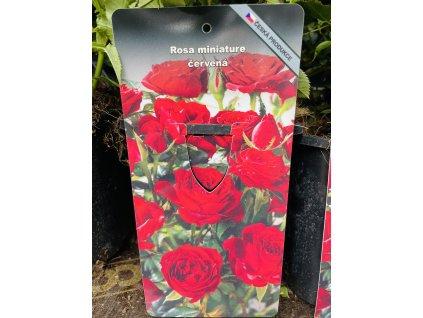 Miniaturní růže červená