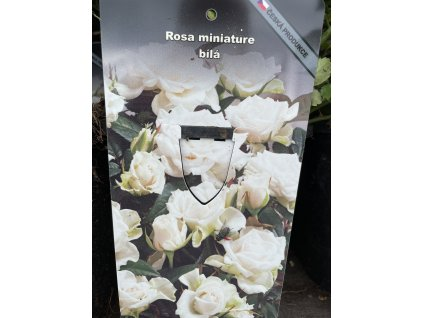Miniaturní růže bílá