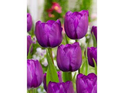 FA 13 0786 Tulipa Negrita