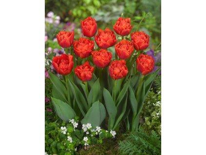 FA 12 0374 Tulipa Rainnee