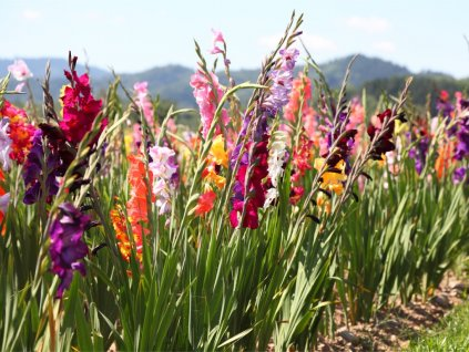 FA 10 0584 Gladiolus Mixed