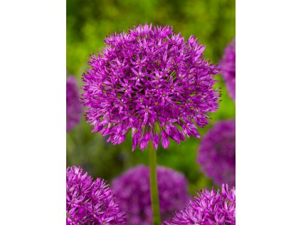 Okrasný česnek 'Purple sensation' 5 ks