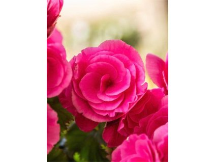 beautiful flower pink begonia picture id470090663