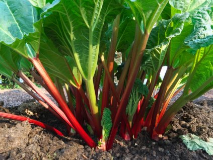 rhubarb picture id1051365496