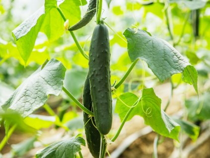 cucumber growing in greenhouse picture id680449084