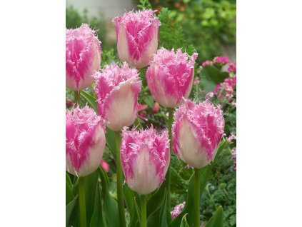 FA 15 0247 Tulipa Huis ten Bosch
