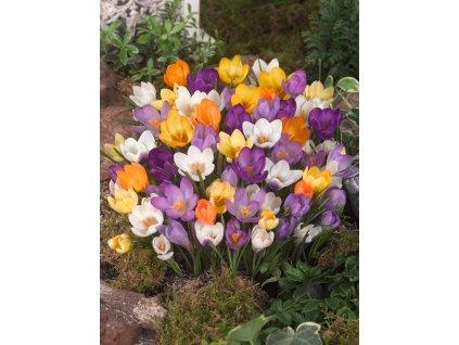 FA 12 0247 Crocus botanic mixed