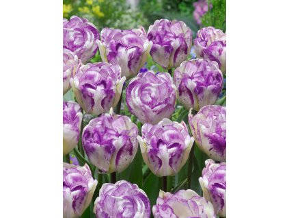 FA 15 0452 Tulipa Double Shirley