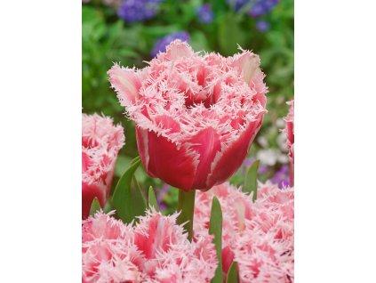 FA 14 0516 Tulipa Brest