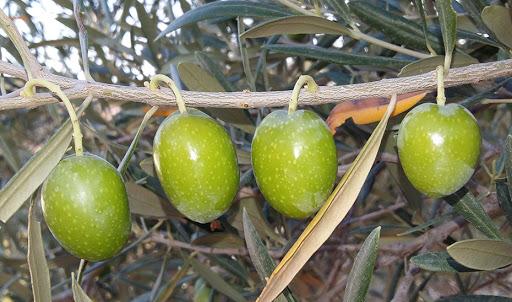 manzanillas-tree