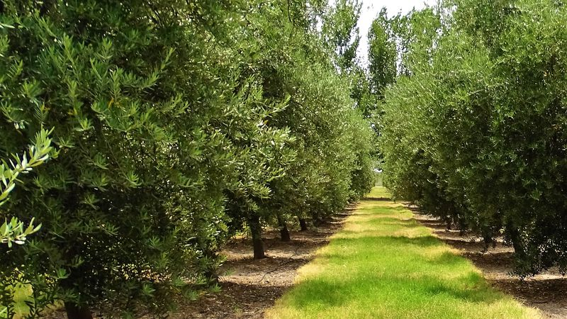 oliva-field-trees-green