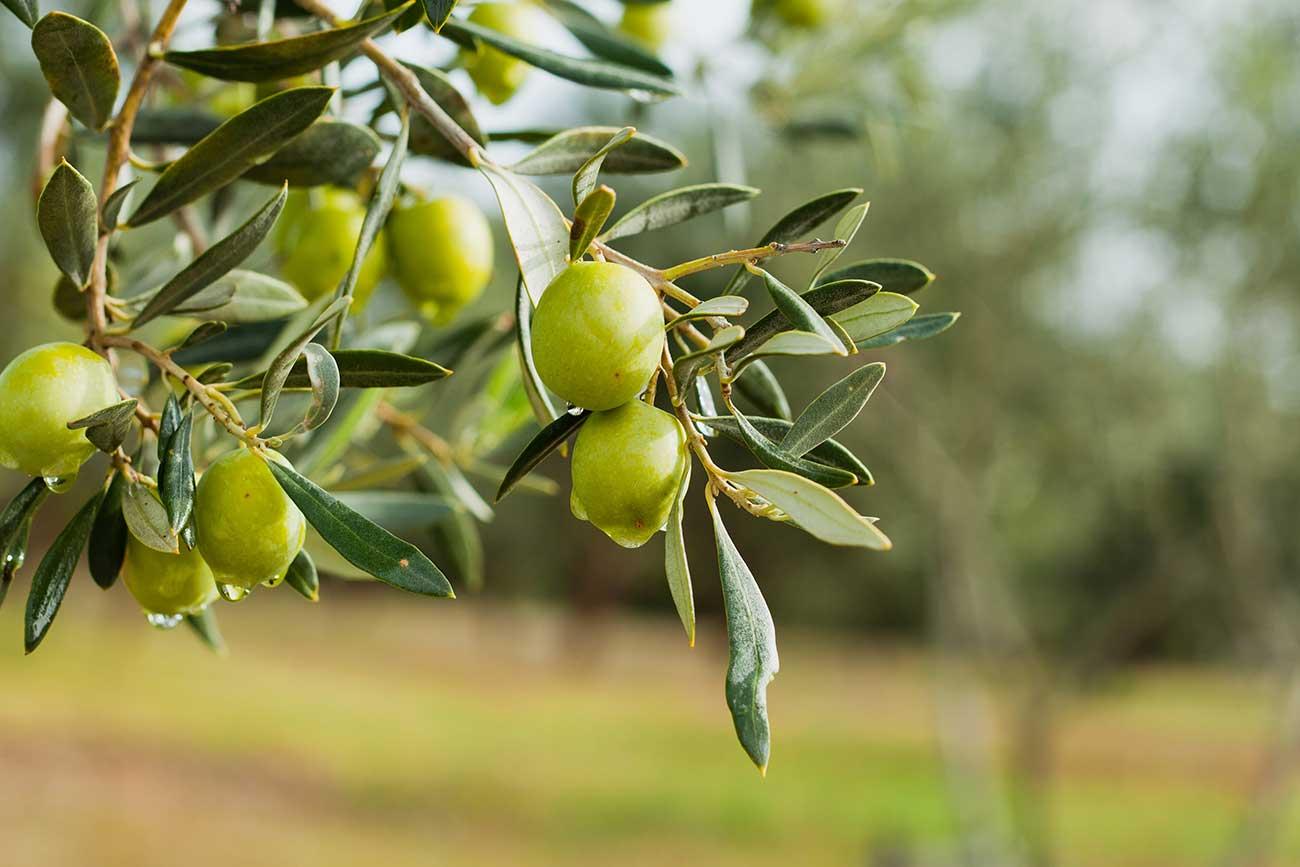 oliva-tree-2