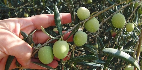 oliva-tree-hand