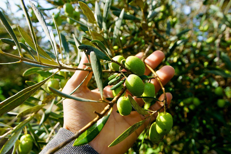 oliva-tree